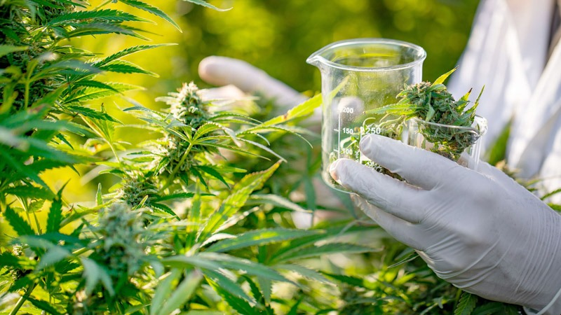 A Researcher Holding Beaker Taking Cannabis Bus from the Field