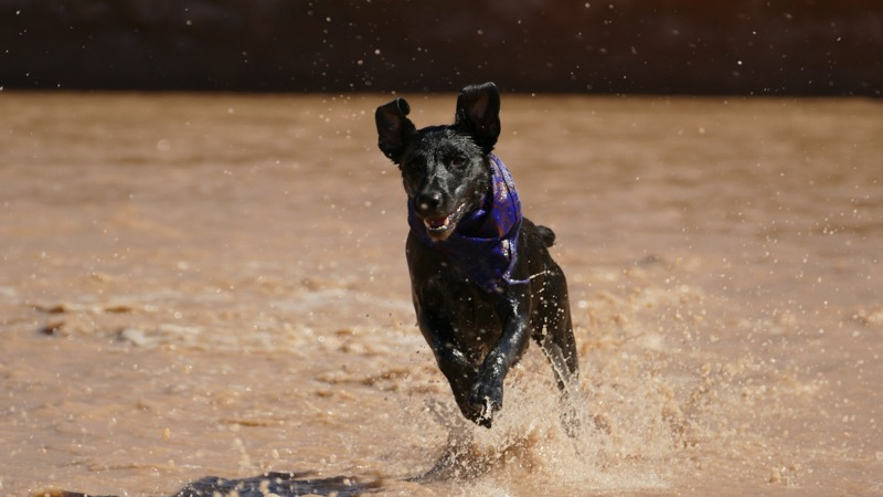 a hyperactive dog running on a river