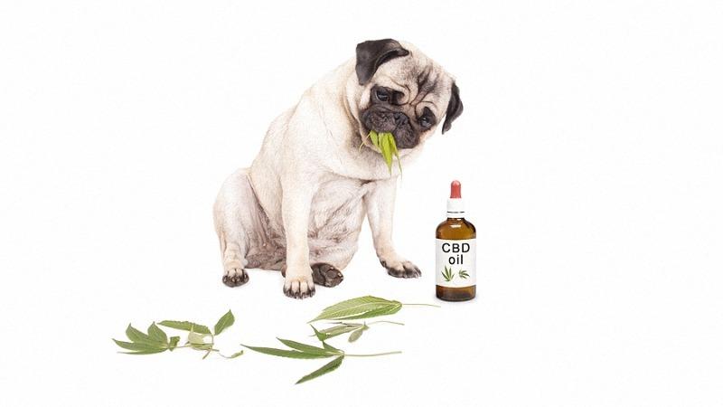 CBD Oil with Dog eating Hemp Leaves